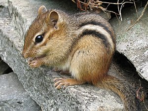 Eastern chipmunk - Image: Tamias striatus 2