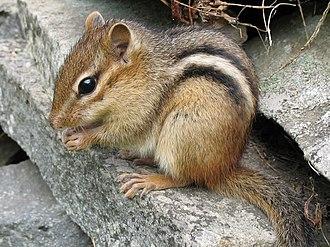 Chipmunk - Image: Tamias striatus 2