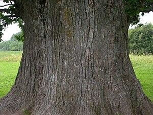 Tamme-Lauri oak - Tamme-Lauri oak trunk