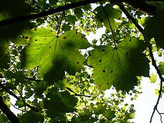 Rhytisma acerinum - Tar spot from beneath a sycamore maple tree