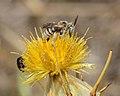 Tarsalia ancyliformis male 2.jpg