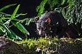 Tasmanian Devil (33334443170).jpg