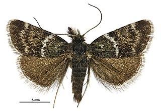 <i>Tauroscopa</i> Genus of moths