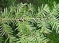 Taxus cuspidata00.jpg