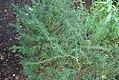 Taxus wallichiana 0zz.jpg