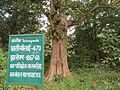 Teak tree planted by Brandis, Kanha-Pench corridor AJTJ.jpg