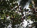 Terminalia catappa 1c.JPG