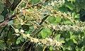 Terminalia paniculata flowers 7.JPG