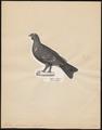 Tetrao hybridus - 1809-1845 - Print - Iconographia Zoologica - Special Collections University of Amsterdam - UBA01 IZ17100333.tif