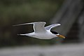 Thalasseus bergii -Flinders, Victoria, Australia -flying-8.jpg