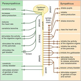 Autonomic nervous system - Function of the autonomic nervous system