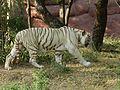 The Bengal Tiger.jpg