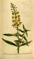 The Botanical Magazine, Plate 104 (Volume 3, 1790).png