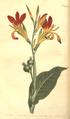 The Botanical Magazine, Plate 454 (Volume 13, 1799).png