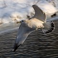The Gull over Ostravice River.jpg