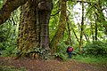 The San Juan Spruce - the largest Sitka Spruce in Canada.jpg