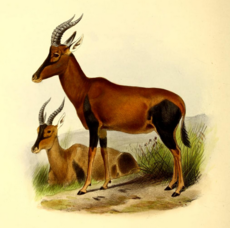 The book of antelopes (1894) Damaliscus korrigum.png
