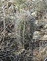 The spines of juvenile saguaro cacti are denser than those of mature plants. Saguaro National Park (Rincon Mountain District (62655c32-f57e-42ac-83c0-098012c0bcff).jpg
