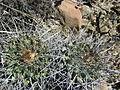 Thelocactus rinconensis (5729242393).jpg
