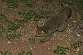 Thick-tailed Bushbaby (Otolemur crassicaudatus) (17126584438).jpg