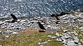 Three puffins at Skellig Michael - June 2018 10.jpg