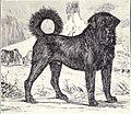 Tibetan Mastiff from 1915.JPG