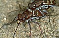 Tiger Beetles (Lophyra flexuosa) mating (36114854662).jpg