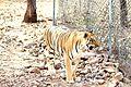 Tiger in a protective habitat.jpg