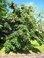 Tilia × orbicularis.jpg