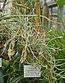 Tillandsia crocata Palmengarten Frankfurt (Main).jpg