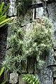 Tillandsia funckiana - Longwood Gardens - DSC01144.JPG