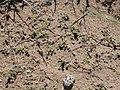 Tiquilia nuttallii (3707332292).jpg
