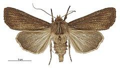 240px tmetolophota micrastra female