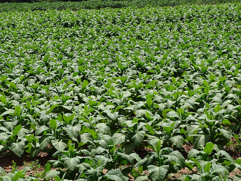 File:Tobacco crop, close view; Clover, VA; 2013-07-14.JPG