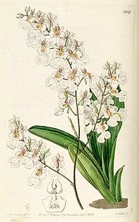 Tolumnia pulchella (as syn. Oncidium pulchellum) - Edwards vol 21 pl 1787 (1836).jpg