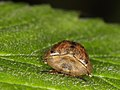 Tortoise beetle (Chrysomelidae Cassidinae) from NE-Germany (7275183448).jpg
