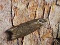 Tortricodes alternella (40216100220).jpg