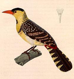 Trachyphonus margaritatus 1838.jpg