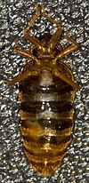 A bed bug is lying upside-down (ventral side up), with its head at the top of the picture. The right side of the bed bug's abdomen (left side of the picture) has a wound caused by traumatic insemination.