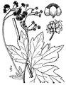Trautvetteria caroliniensis (Walter) Vail - Carolina bugbane.tiff