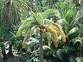 Tree-in Kuakata Bangladesh 7.jpg
