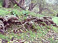 Tree roots - geograph.org.uk - 1038969.jpg