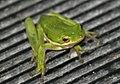Treefrog (249525770).jpg