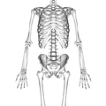 Triangular bone 01 palmar view.png