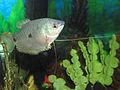 Trichogster trichopterus 13.jpg