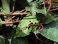 Trichosanthes tricuspidata var. tomentosa 3.JPG