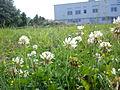 Trifolium Poznan Winiary.jpg