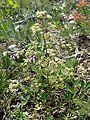 Trinia glauca (subsp. glauca) sl13.jpg