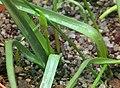 Triteleia peduncularis 02.jpg