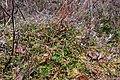 Troianivka Manevytskyi Volynska-Kruchene ozero nature reserve-Vaccinium vitis-idaea.jpg